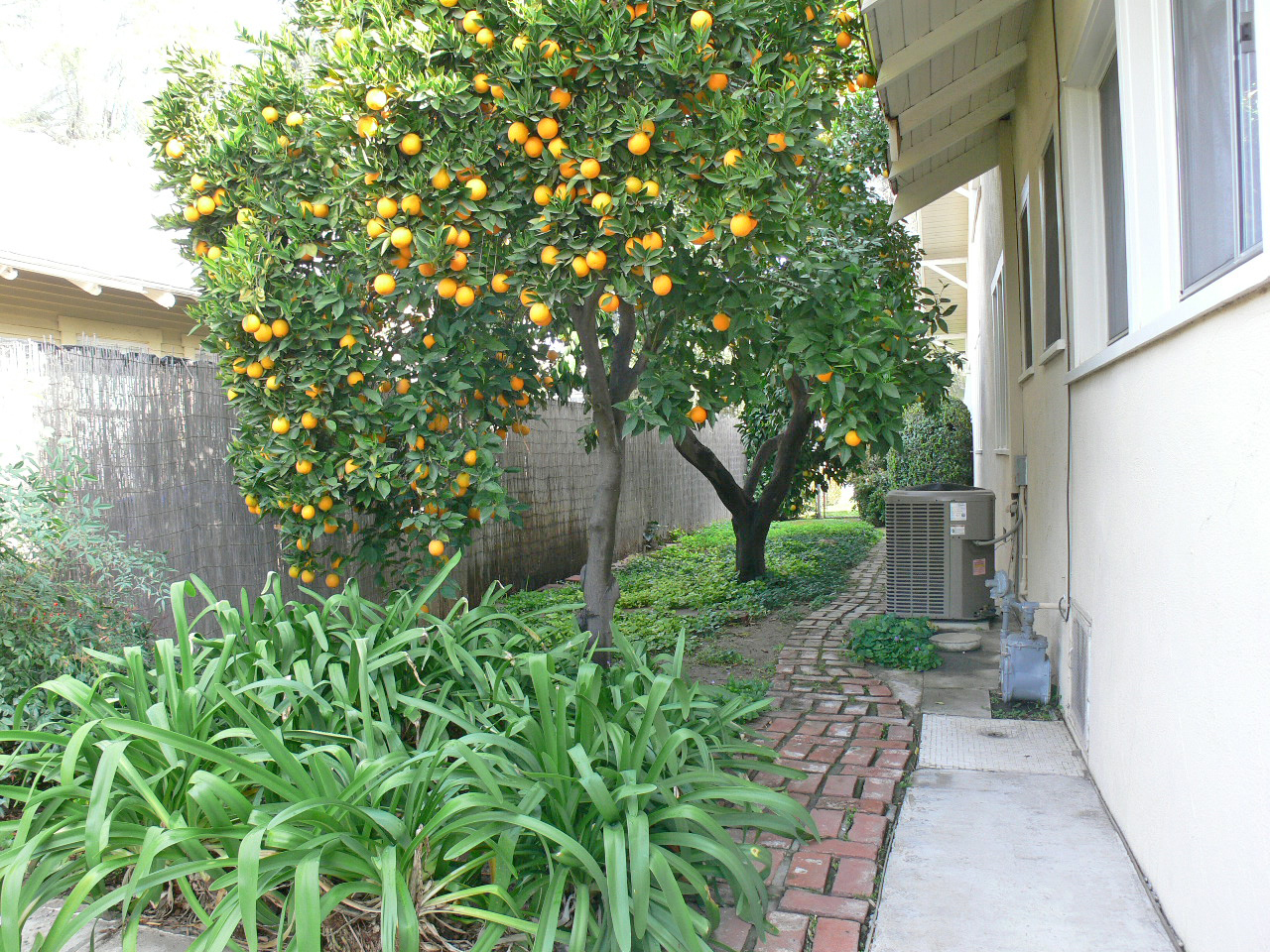 Side of house -- look how meticulously this area is maintained.  The owners are so proud of their citrus trees!