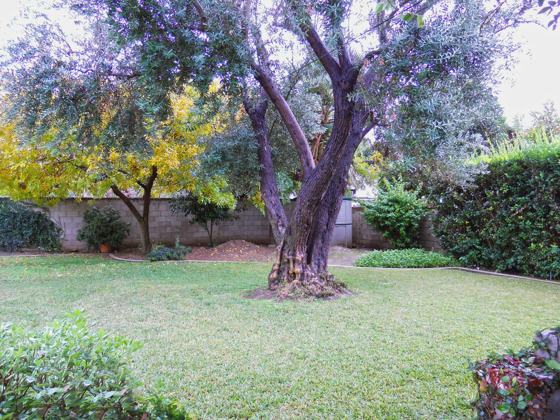 View of mature shade tree from the patio.
