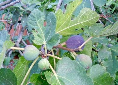 Some of the figs (dark purple) are ripe and ready to eat as soon as you pluck them from the tree.
