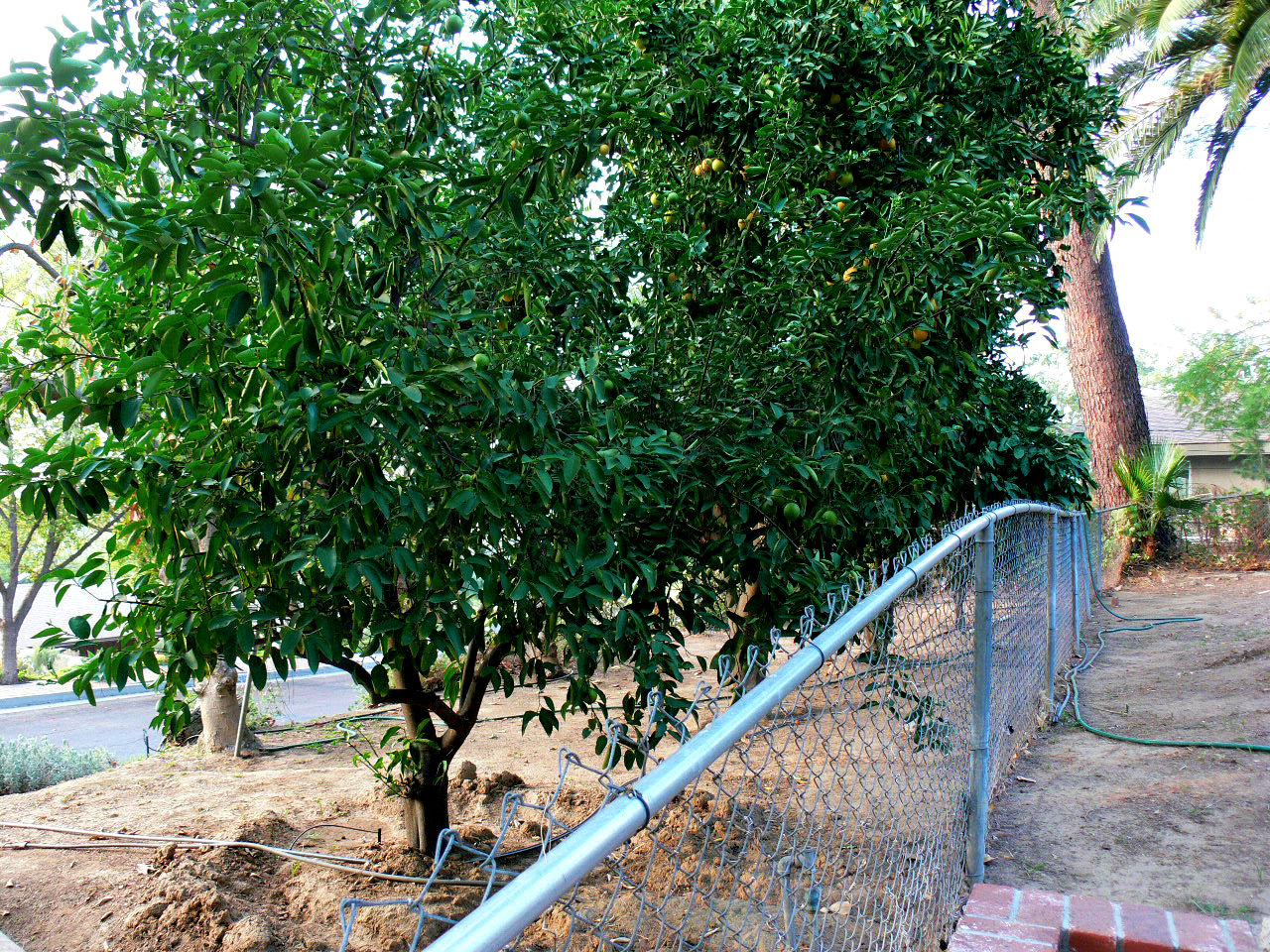 Yummy citrus trees on outside of chain link, but definitely part of this property.