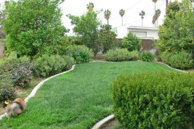 Alternate view of backyard with mature citrus trees in the background.