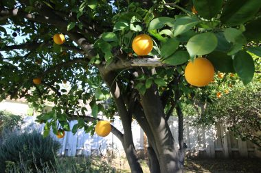 Your very own mature and delicious orange tree.